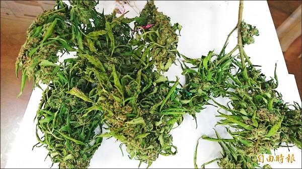 替代 20多株印度混合种大麻