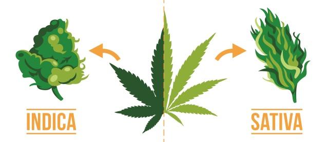 关于大麻品种Sativa的有趣事实