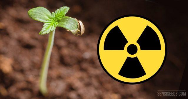 工业大麻,可用于净化、修复核灾受污染土地